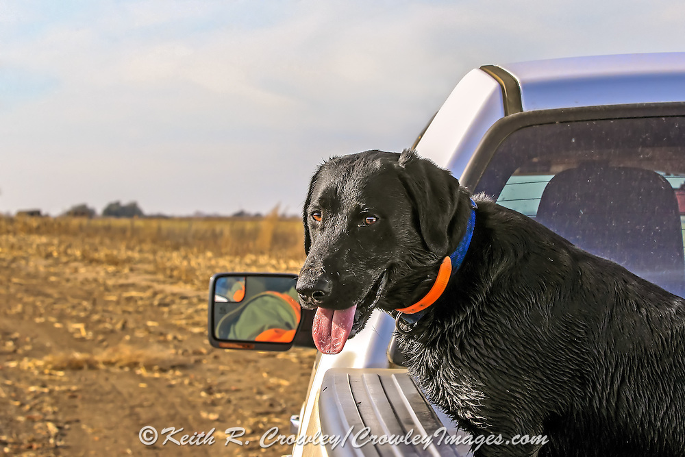 A Black Lab rides in the bed of a pick-up during a pheasant hunt