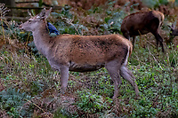 Deer at  Bradgate Park Leicestershire Photo by CHris Wynne