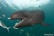 false killer whale, Pseudorca crassidens (c,dm)