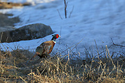 Rooster Pheasant in eary spring, snowy habitat.