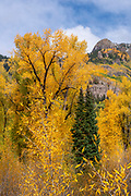 Narrowleaf Cottonwood, WIllow, Fir, and the<br />Uncompahgre Mountains,<br />Uncompahgre National Forest, Colorado