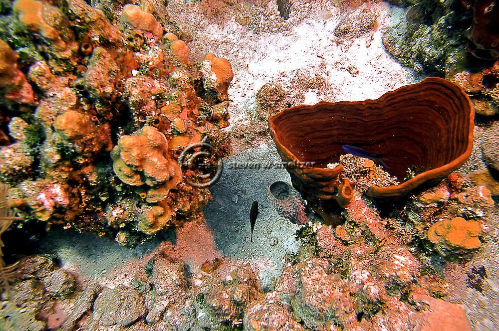 Bowl Sponge, Cribrochalina infundibulum also know as Cribrochalina vasculum, Grand Cayman