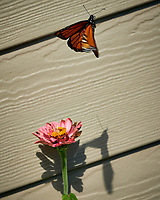Monarch Butterfly Flying Away from a Pink Zinnia Flower. Image taken with a Fuji X-H1 camera and 80 mm f/2.8 OIS macro lens (ISO 200, 80 mm, f/5.6, 1/850 sec).