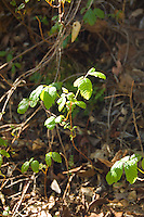 Poison Oak on Pine Ridge Trail, Big Sur, California.