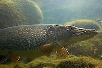 Pike (Esox lucius), in fishpond, Switzerland<br /> Hecht (Esox lucius), in Fischteich, Schweiz<br /> Brochet (Esox lucius), en étang de poisson, Suisse<br /> 13-03-2009