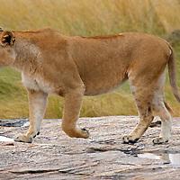 Africa, Kenya, Masai Mara. Lioness walks across rock after the rains in the Mara.