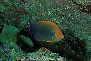 Potter's angelfish, <br /> Centropyge potteri, endemic to Hawaii, USA, <br /> Kona, Hawaii, USA ( Pacific )