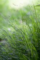 Eenbloemig parelgras, Melica uniflora