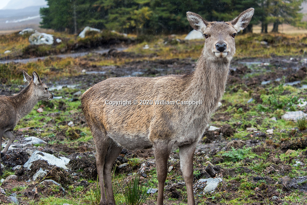 A female red deer  in the highlands of the 14,000 acre Glencoe National Nature Reserve in western Scotland.