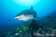 large female tiger shark, Galeocerdo cuvier, with a remora or sharksucker attached to its lower jaw, and bluestripe snapper, or ta'ape, Lutjanus kasmira, Honokohau, Kona, Big Island, Hawaii, USA ( Central Pacific Ocean )