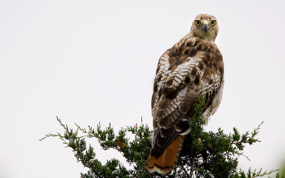 """A Red-tailed Hawk (Buteo jamaicensis) sits atop a tree at Sandy Hook Nation Park in Highlands New Jersey.  The hawk is a medium-sized bird of prey, one of three species colloquially known in the United States as the """"chickenhawk."""" A Red-tailed Hawk (Buteo jamaicensis) sits atop a tree at Sandy Hook Nation Park in Highlands New Jersey.  The hawk is a medium-sized bird of prey, one of three species colloquially known in the United States as the """"chickenhawk."""""""
