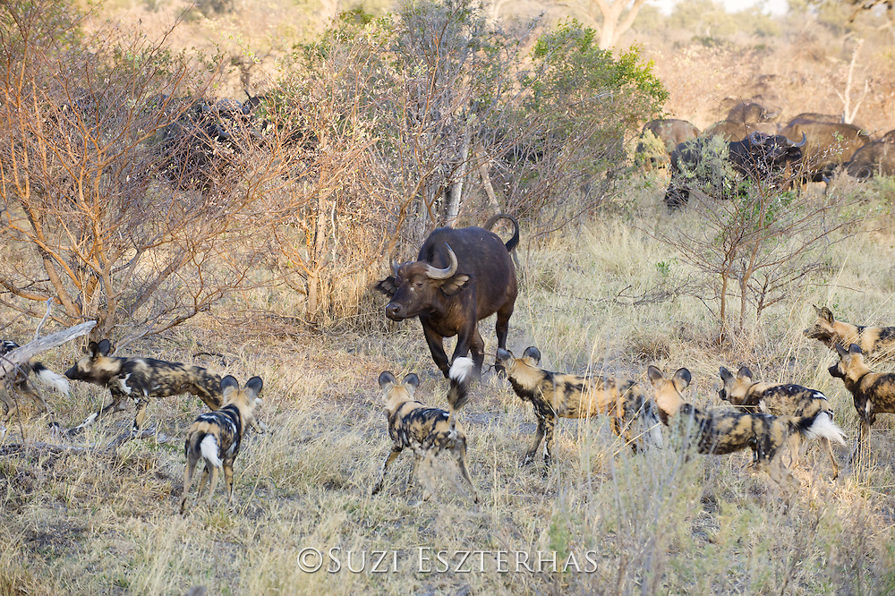African Wild Dog<br /> Lycaon pictus<br /> Chased by buffalo<br /> Northern Botswana, Africa<br /> *Endangered species
