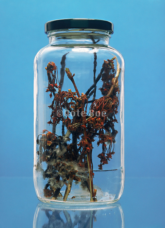 dying twigs in a glass jar with lid against blue background