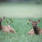 Elk, (Cervus elaphus) Twin calves resting together in meadow during midday. Spring.