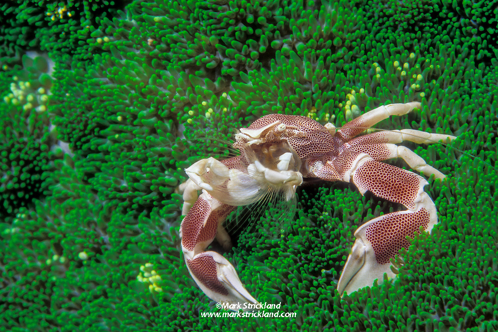 This Porcelain crab, Neopetrolisthes maculatus, is perched on its host, an adhesive sea anemone. The crab uses feathery mouth parts to strain plankton from the water column; its claws are only for defense. Ko Tachai, Similan Islands Marine National Park, Thailand, Andaman Sea, Indian Ocean