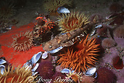 puffadder shyshark (  catshark or cat shark ), Haploblepharus edwardsii, endemic to S. Africa, swimming over sea anemones and urchins, Cape of Good Hope, False Bay, South Africa