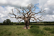 Dead tree with bare branches in Grafton Flyford, United Kingdom.