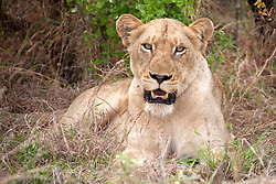 Lioness (Panthera leo) relaxing in a forest, Kruger National Park, South Africa