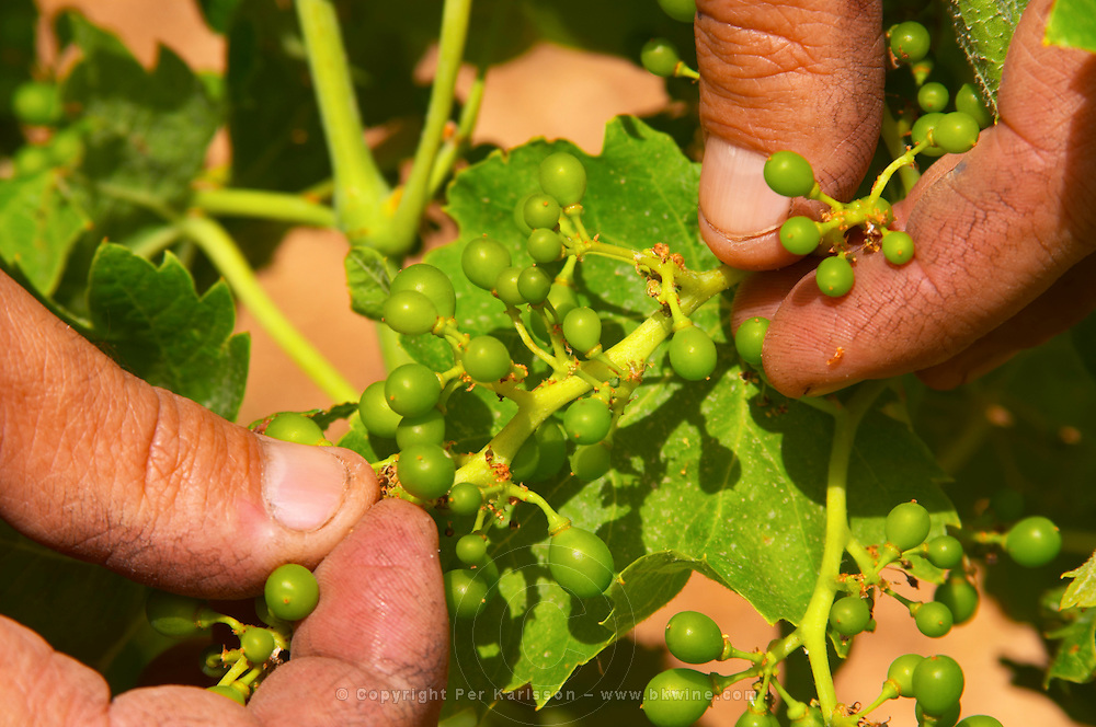Domaine d'Aupilhac. Montpeyroux. Languedoc. Fruit setting with very small berries on the bunch after flowering. Owner winemaker. France. Europe. Vineyard.