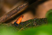 Strawberry Poison Dart Frog, Oophaga pumilio (formerly Dendrobates pumilio), at Tirimbina Biological Reserve, Costa Rica. Also called the Blue Jeans Frog.
