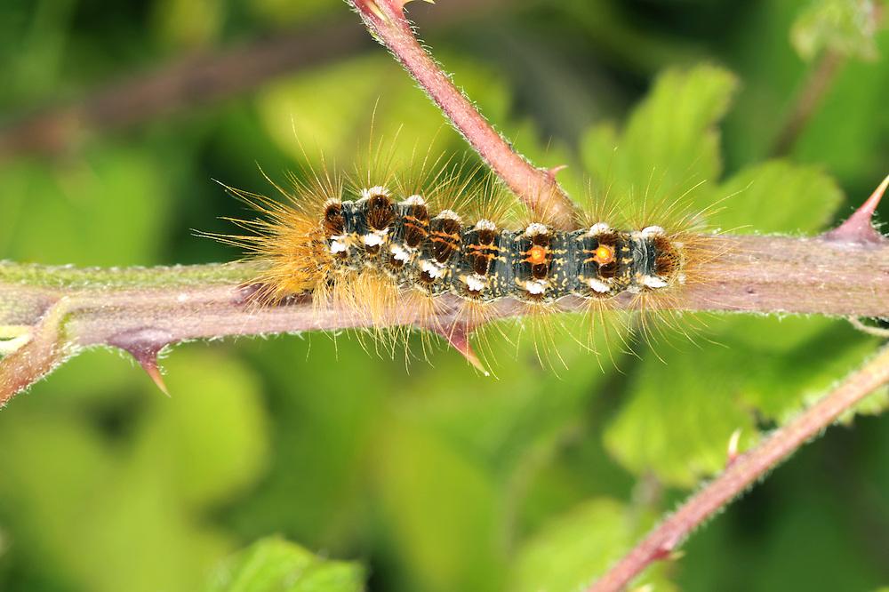 Brown-tail - Euproctis chrysorrhoea
