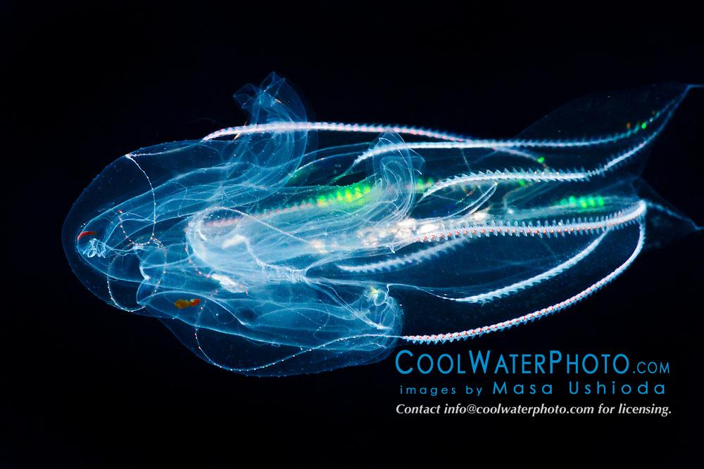 lobate comb jelly, Bolinopsis infundibulum, a bioluminescent ctenophore, offshore at night, Kona Coast, Big Island, Hawaii, USA, Pacific Ocean