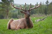 Bull elk in summer with antlers in velvet
