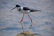 Black Winged Stilt, Himantopus himantopus, Ria Formosa East, Algarve, Portugal, wading in water at salt pans,