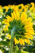 63801-11214 Sunflower in field Jasper Co.  IL
