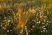 Grasses and daisies at sunset. Redstreak campground, Kootenay National Park, British Columbia, Canada