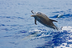 Pantropical Spotted Dolphin, Stenella attenuata, jumping out of boat wakes, off Kona Coast, Big Island, Hawaii, Pacific Ocean