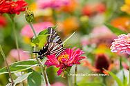 03006-00408 Zebra Swallowtail (Protographium marcellus) on Zinnia Union Co. IL