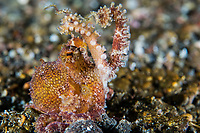 Poison Ocellated Octopus in defensive display<br /> <br /> Shot in Indonesia
