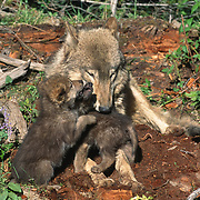 Gray wolf (Canis lupus) adult with putps at the den, Rocky Mountains, Montana. Captive Animal