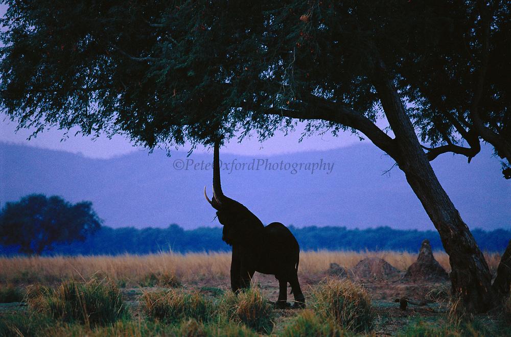 African elephant reaching with trunk to feed on seed pods.  Manu pools NP, Zimbabwe {Loxidonta africana}