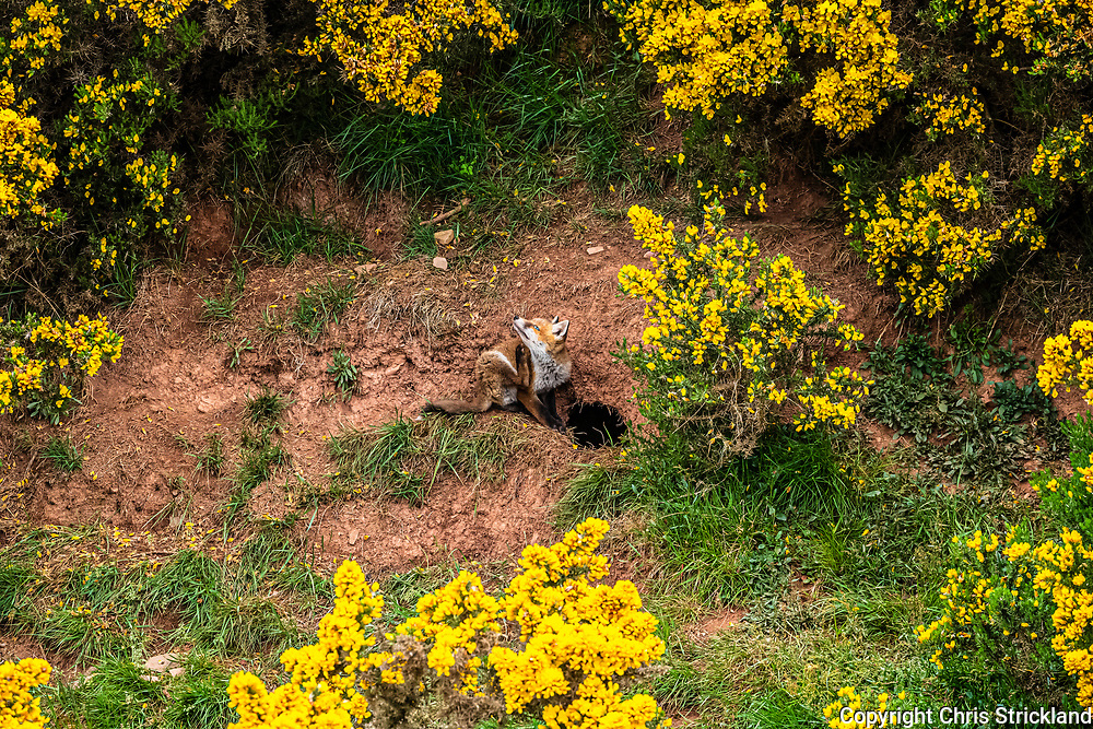 Morebattle, Kelso, Scottish Borders, UK. 29th May 2019. A red fox cub, about two months old, outside the family den amongst blooming yellow gorse on a livestock farm in the Scottish Borders.
