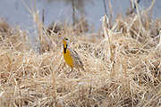 Photograph of an Eastern Meadowlark at Whitewater Draw Wildlife Area AZ
