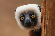 Coquerel's sifaka (Propithecus coquereli)<br /> Ankarafantsika Strict Nature Reserve, Western deciduous forest. MADAGASCAR<br /> These are large (length 925-1,100mm and weight: 3.5-4kg), vertically clinging and leaping lemurs. Their distinctive coloration can not be confused with any other species. They are diurnal and live in family groups of three to ten. Coquerel's sifaka feed primarily on leaves, fruit, bark and flowers. They have one young in June or July. At first the infant clings to the mother's front then as it gets larger rides on her back.<br /> DISTRIBUTION: Restricted to north-west Madgascar in dry-deciduous and semi-evergreen forests.<br /> THREATENED SPECIES due to habitat distruction for agriculture and the production of charcoal but also deliberately started bush fires lit to encourage new grass shoots to grow. Hunting also occurs in some areas although around Ankarafantsika Reserve it is 'fady' or taboo to hunt this species.<br /> ENDEMIC TO MADAGASCAR