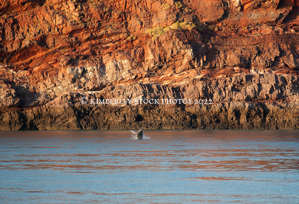 A Humpback whale calf breaches against the cliffs of Koolan Island in Yampi Sound on the Kimberley coast.