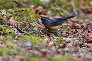 Taiwan Collared Bush Robin, Tarsiger johnstoniae, Endemic, Alishan National Scenic Area, Taiwan