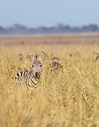 Zebra in long grass, Amboseli National Park, Kenya