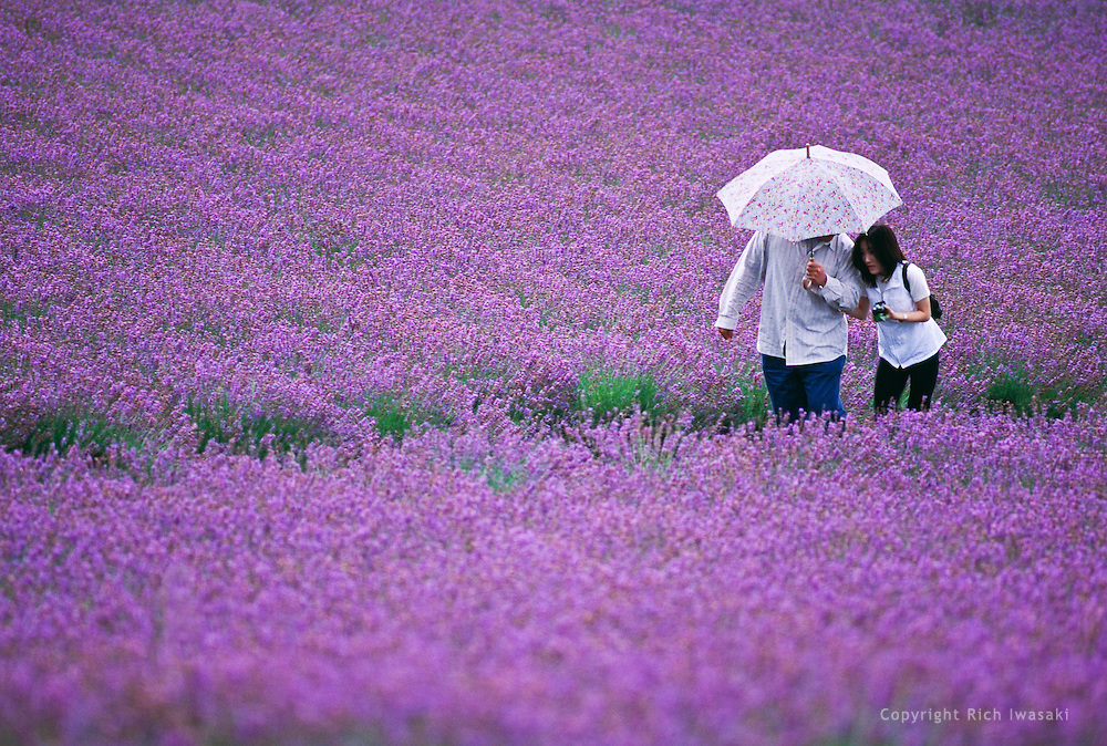 Visitors with umbrella walk on path in lavender field, Naka Furano, Hokkaido, Japan