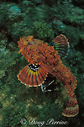"""spotted scorpionfish, Scorpaena plumieri, <br /> showing """" startle coloration """" on inside of pectoral fins<br /> Bahamas ( Western Atlantic Ocean )"""