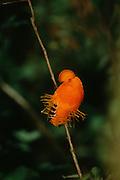Guianan Cock-of-the-Rock<br /> Rupicola rupicola<br /> Rain Forest, GUYANA.  South America<br /> RANGE; E Colombia, S Venezuela, Guianas & Amazon Brazil