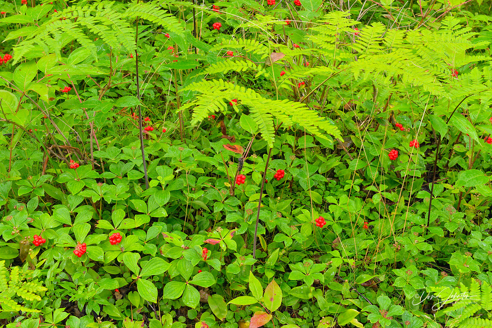 Bunchberry (Cornus Canadensis) Colony with fruit surrounding in a birch woodland, Greater Sudbury, Ontario, Canada