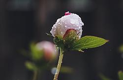 THEMENBILD - Wassertropfen auf einer hellrosa Pfingsrosen-Blütenknospe, aufgenommen am 09. Juni 2020, Kaprun, Österreich // Water drops on a light pink peony flower bud on 2020/06/09, Kaprun, Austria. EXPA Pictures © 2019, PhotoCredit: EXPA/ Stefanie Oberhauser