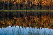 """Reflections of pine forest and narrow line of marsh in small lake at dusk, nature reserve """"Augstroze"""", Latvia Ⓒ Davis Ulands 