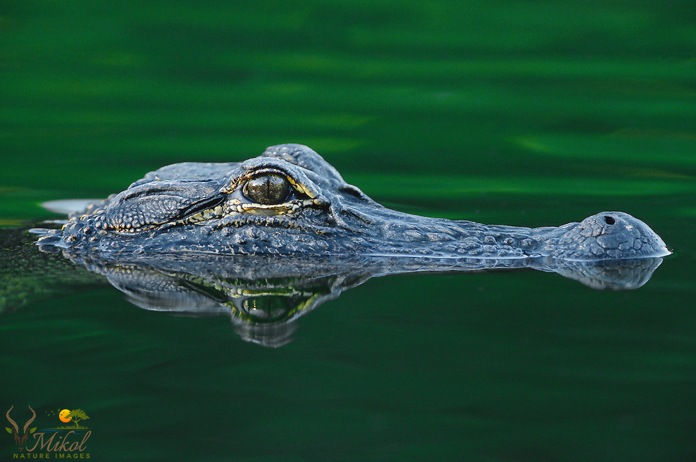 Alligator head reflecting in green water