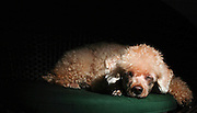 Apricot Miniature Poodle rest heads on paws