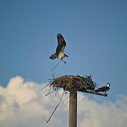 Idaho, Canyon County, Deer Flat National Wildlife Refuge, Nampa, osprey Pandion haliaetus carolinensis pair at the nest on a pole with orange twine streaming from the nest. One adult bringing nest materials.